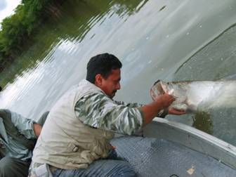 Un gran Sabalo del rio Champoton