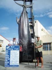 Reporte de captura de Marlin Azul de 561.5 Kgs