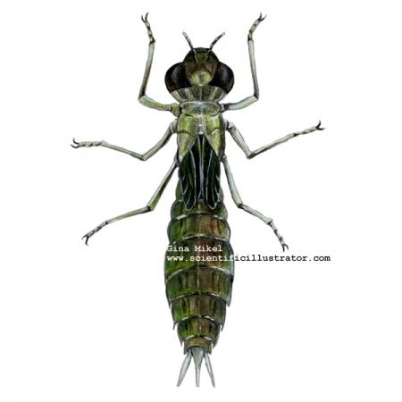 dragonfly_larva.jpg