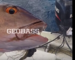 GEOBASS/ RED BASS IN CHRISTMAS ISLAND