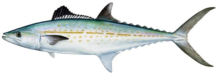 mackerel cero.jpg