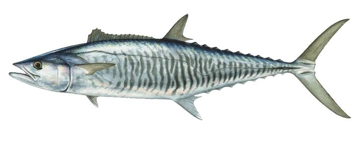 mackerel narrawbarred.jpg