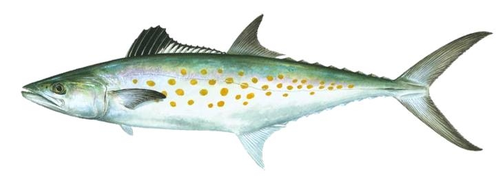 spanish mackerel.jpg