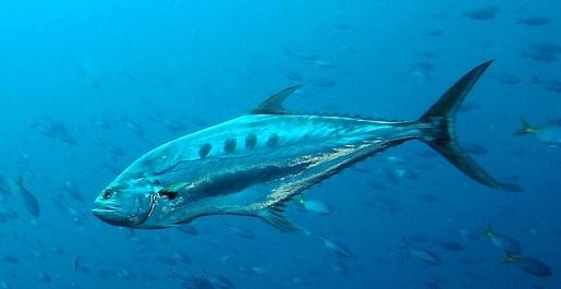 queenfish.jpg