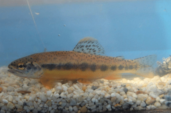 Mexican-golden-trout-Oncorhynchus-chrysogaster-image-provided-by-Arturo-Ruiz-Luna.png