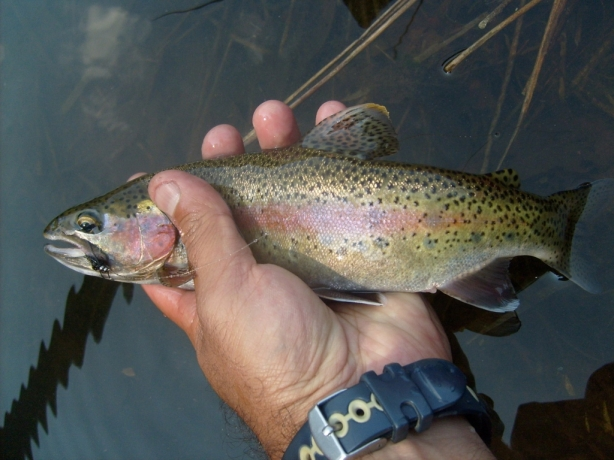 Silvestre trucha donde pescar