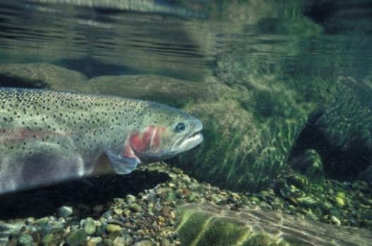 Datos curiosos sobre la Trucha y su pesca