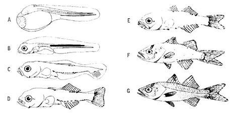 Especies del Caribe Mexicano VII, el Robalo