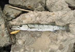 La pesca de la Barracuda en Mexico