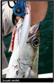 Pesca por Ilha Bela (Brasil) 23-08-2007
