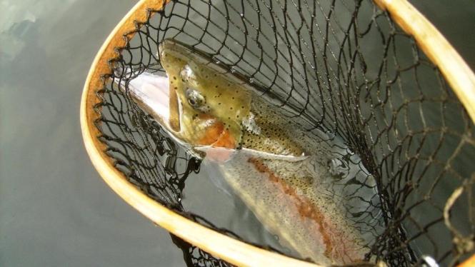 trucha en red de pesca.JPG