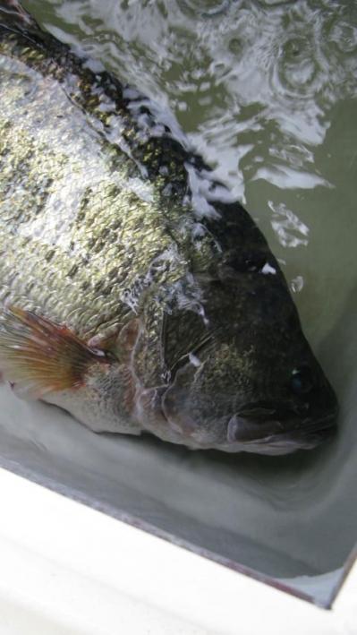 Bass lobina Japón record