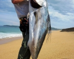 Impresionante pez gallo, Surf Fishing