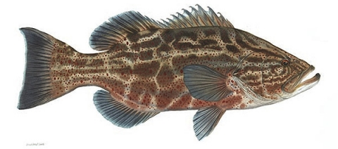 Black_Grouper_large.jpg