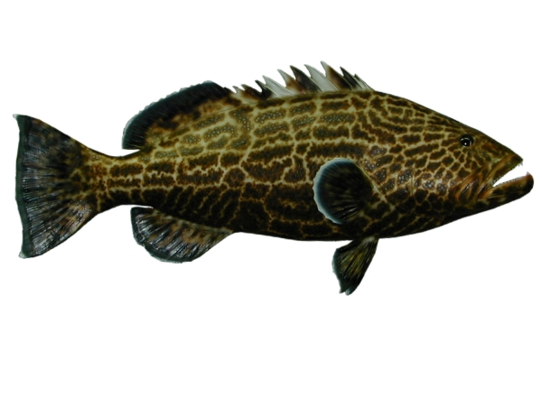 BLACK GROUPER.jpg