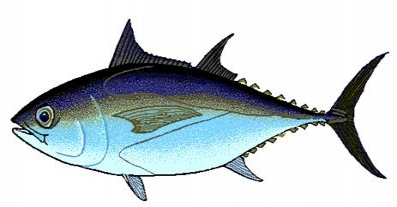 Especies del Caribe Mexicano XII, el Atun Aleta Negra